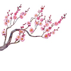 Blossom branch of Japanese plum. Watercolor.