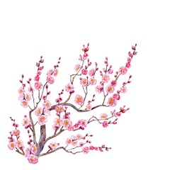 Flowering tree of Japanese apricot. Watercolor.