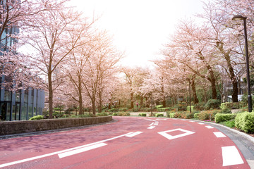 Spring sakura cherry blossoms at Tokyo Midtown