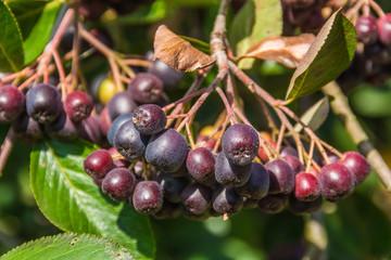 Chokeberry branch