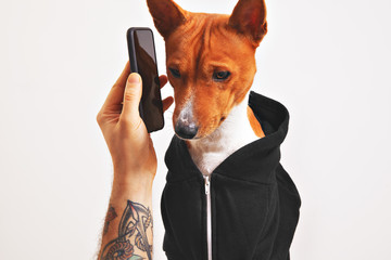 Cute dog in black hoodie listening attentively to smartphone held by a tattooed man's hand isolated on white