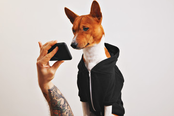 Cute brown and white basenji dog in black hoodie looks closely at the screen of smartphone held by a tattooed man's hand isolated on white.