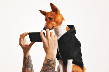 Cute doggie in casual clothing watches a video on a black smartphone held by a man with tattooed arms on white background