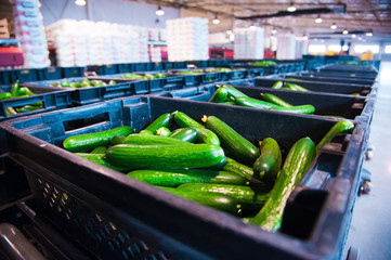 Fresh cucumbers on vegetable processing factory