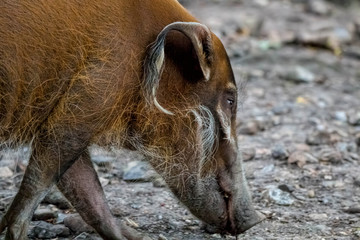 Red river hog, bush pig.