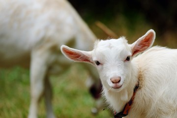 Close up baby goat with smile face