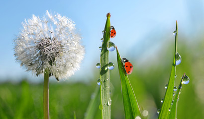 Dewy dandelion flower with ladybugs in grass. Spring season.