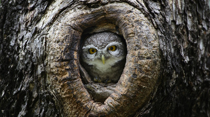 Bird, Owl, Spotted owlet (Athene brama) in tree hollow,Bird of T Wall mural