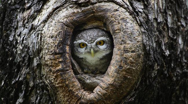 Bird, Owl, Spotted owlet (Athene brama) in tree hollow,Bird of T