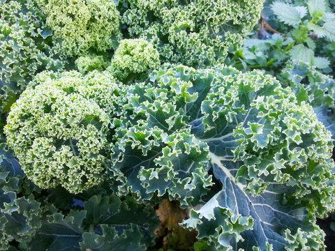 Erntereife Blätter vom Grünkohl im Winter, Wintergemüse, Kohl, Braunkohl oder Krauskohl (Brassica oleracea var. sabellica L.) Superfood aus dem eigenen Garten