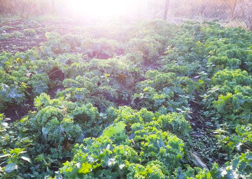 Erntereife Blätter vom Grünkohl, Wintergemüse, Kohl, Braunkohl oder Krauskohl (Brassica oleracea var. sabellica L.), pflanzliche Nahrung für Veganer