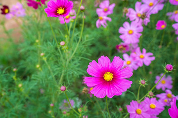Pink Cosmos flowers in a beautiful outdoor garden - plant of colorful.
