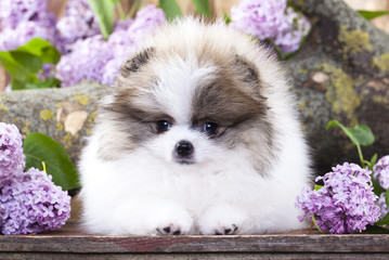 Pomeranian Spitz white and lilac color