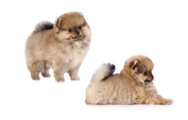 Pomeranian dog puppy cute pets happy