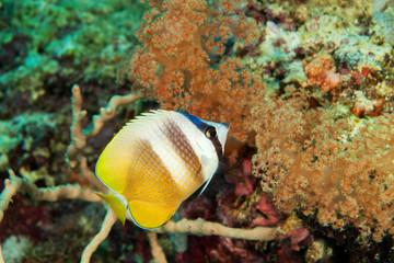 Butterfly fish close-up. Sipadan island. Celebes sea. Malaysia.