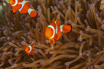 Clownfish close-up. Sipadan island. Celebes sea. Malaysia.