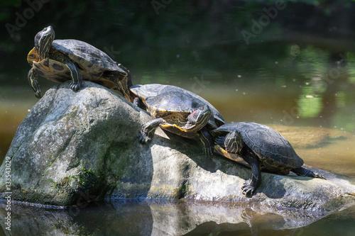 trio di tartarughe acquatiche su pietre imagens e fotos