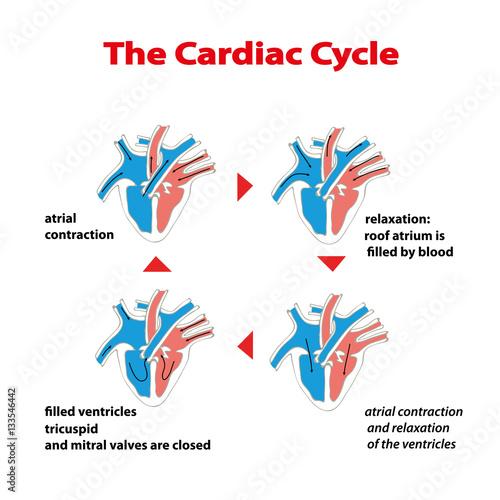 Heart Cycle Cardiac Cycle Of Heart On White Isolated Cardiac Cycle
