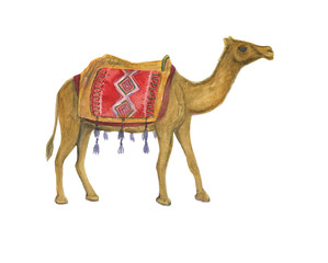 Watercolor painting Arabian Camel isolated on white background