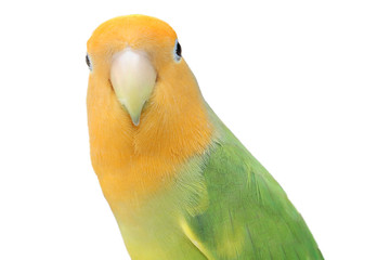 Lovebird on isolated