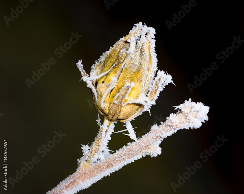 frozen buds on a - photo #3