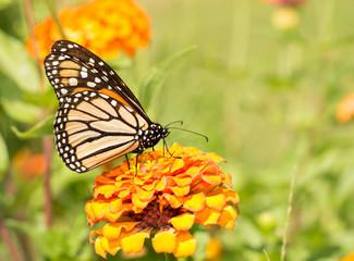 Monach butterfly on an orange Zinnia in summer garden