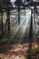 Forest Sunrays