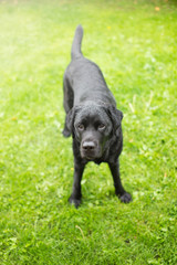 Black Labrador Retriever Looking Up Ready to Play