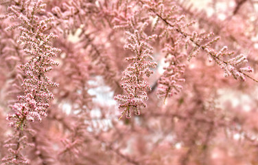 Blooming bush of Tamarix (tamarisk, salt cedar) in the garden in early summer