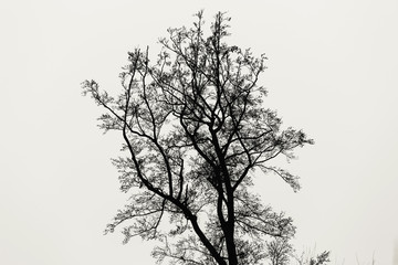 Tall tree without leaves isolated on monochrome background