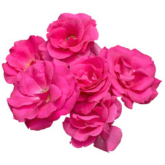 Flowers of pink roses on a white background