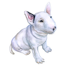 Watercolor portrait of white English Bull terrier, the white cavalier breed dog puppy  isolated on white background. Hand drawn sweet pet. Realistic look. Greeting card design. Clip art. Add your text