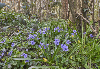 Dog Violet in a coppice wood