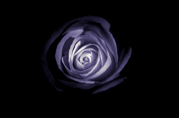 Abstract Rose with Black background