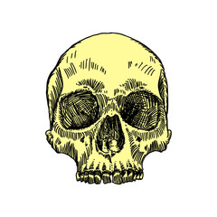 Anatomic skull, weathered and museum quality, detailed hand drawn illustration. Vector Art.