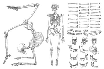 Human anatomy drawing monochrome set with skeletons and single bones isolated on white background. Character creation set with moving arms, legs, jaw on skull and fingers on wrist Vector illustration