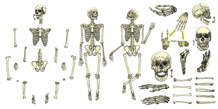 Human bones skeleton drawing collection set. Character creation set with moving arms, legs, jaw on skull and fingers on wrist for gestures. Vector illustration.