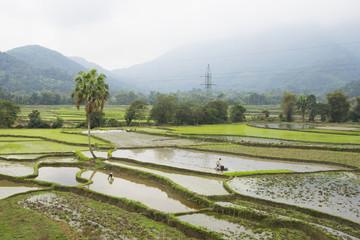 Rice field in growing season