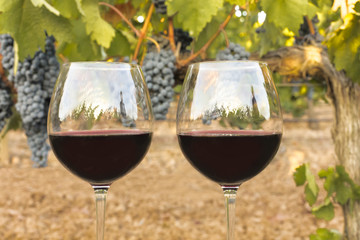 Glasses of red wine in vineyard at harvest