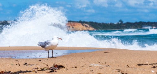 A lone seagull walks along sandringham beach in Victoriam Australia with waves crashing in the background