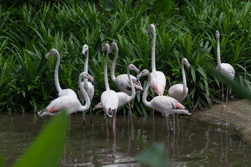 Flock of White flamingos standing in water