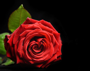 Wonderful red rose close up with dew drops on black background. Valentine's day background