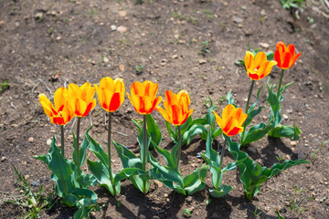 Row of spring tulips on a background of bare land with punches a grass, selective focus.