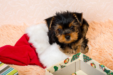 Puppy Yorkshire Terrier gift boxes