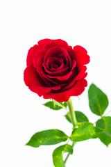 Beautiful red rose.