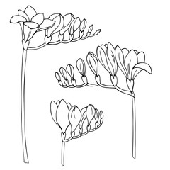 vector monochrome contour illustration of freesia flowers
