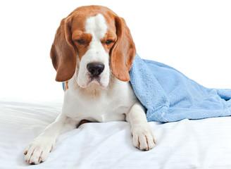 sick dog under a blue blanket on white background