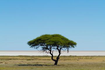 Solitary, trees, savanna, Namibia, Africa