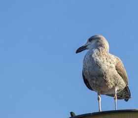 Juvenile herring gull perched