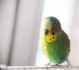 Green budgerigar parrot close up portrait on blurred background